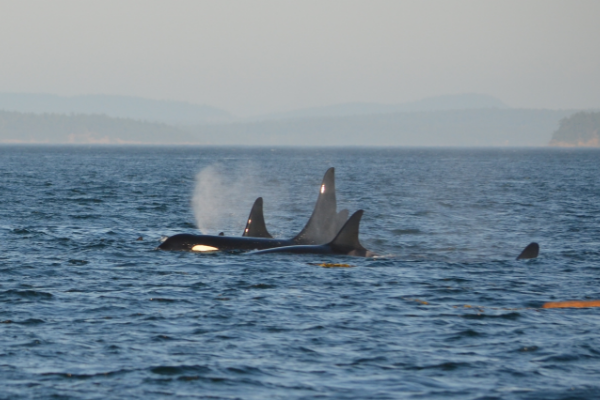 鲸鱼 环保 污染 灭绝 海洋,致癌化学物污染海洋 让虎鲸有灭绝的风险